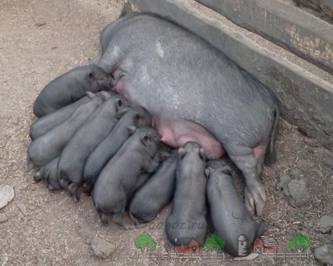 Свиноматка с подросшими поросятами