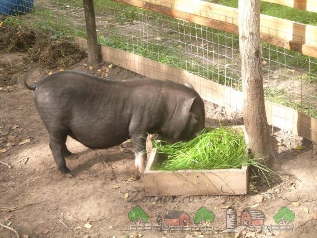 Свинья ест скошенную зеленую траву