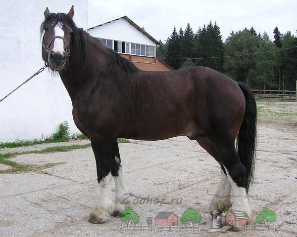 Конь-тяжеловоз в частном хозяйстве