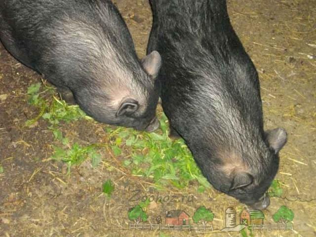 Черные свиньи поедают крапиву