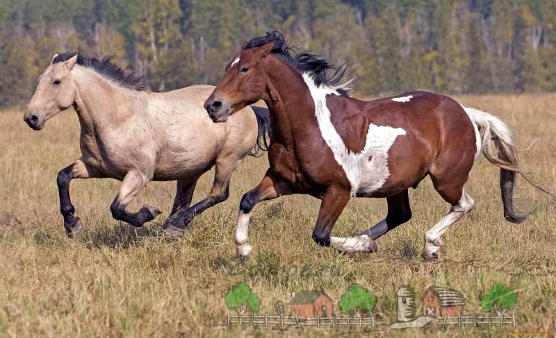 Лошади бегут быстрым галопом