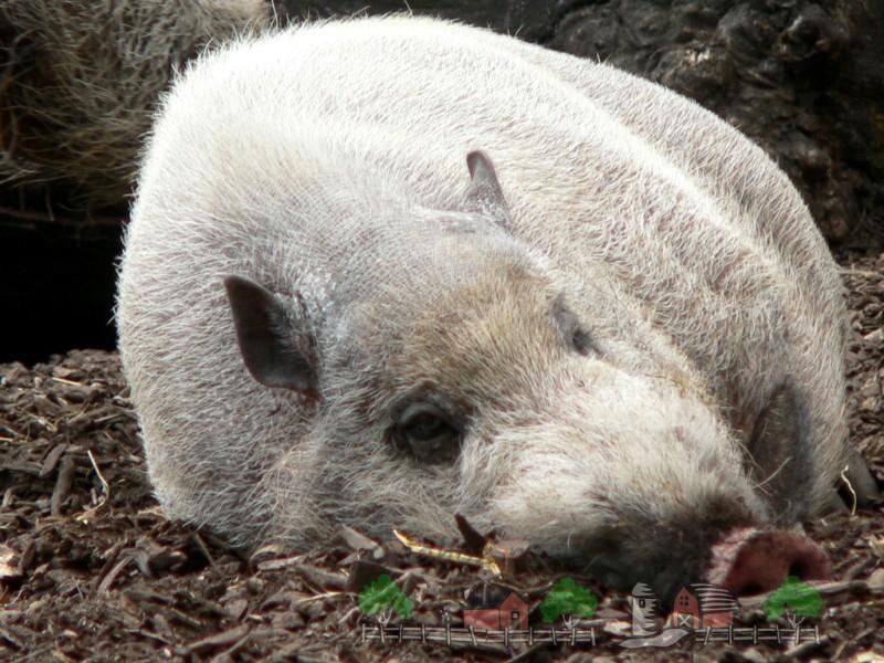 Супоросная свиноматка отдыхает