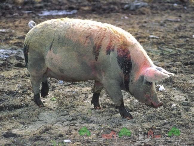 Свинья в струпьях от чесотки