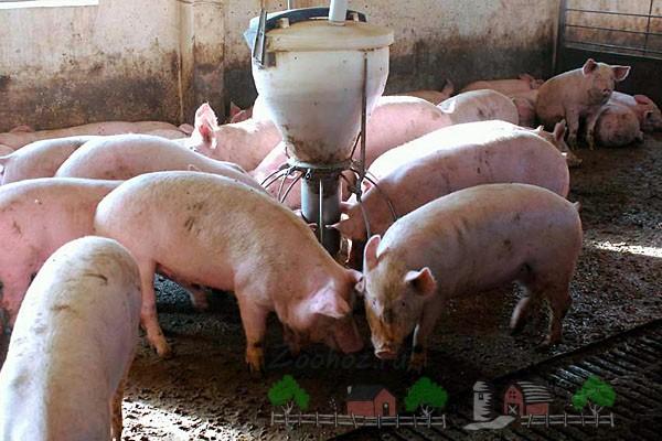 Кормление свинок из самодельной конструкции