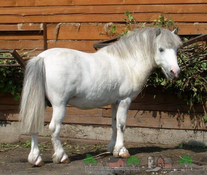 Белый пони из зоопарка в Перми