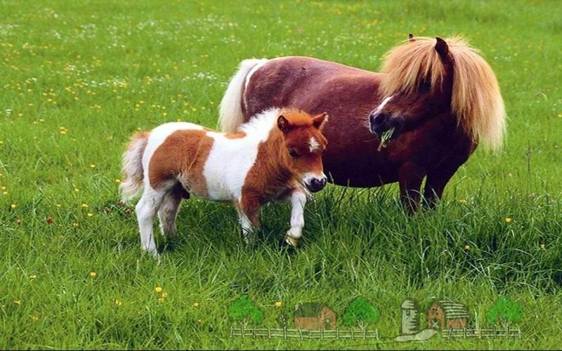 Пони-мама с жеребенком в поле