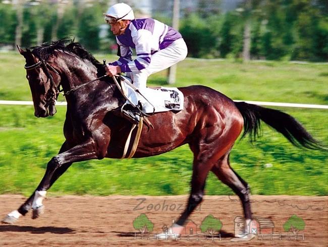 Английская чистокровная порода лошадей, ее обзор и фото