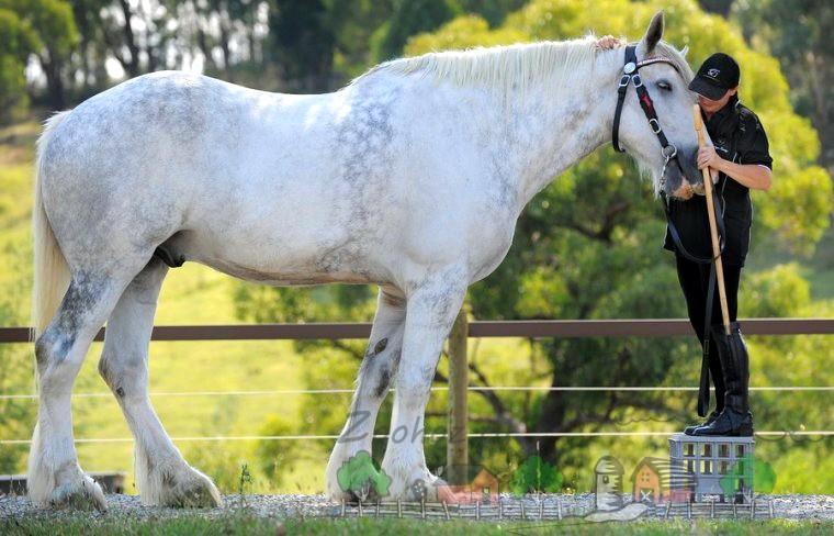 Нодди - самый большой конь 21 века