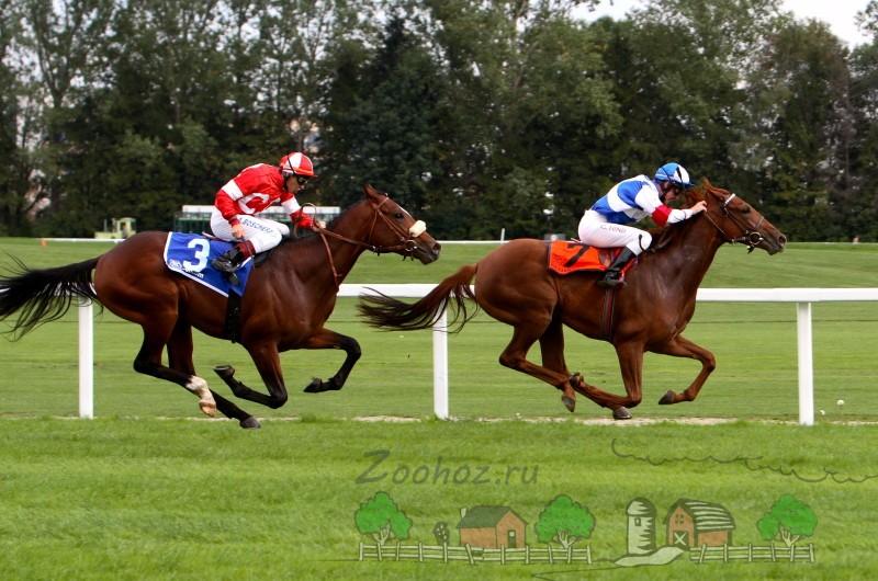 Лошади на скачках бегут карьером