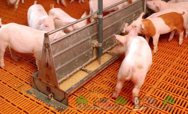 Свинята кушают сухой корм