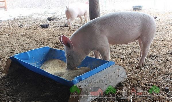 Свинка ест с самодельной кормушки