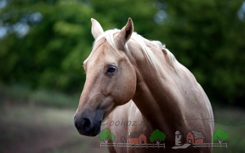 Морда солового коня крупным планом