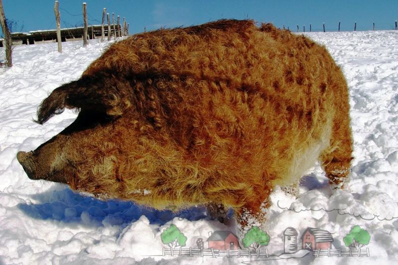 Красная Мангалица на зимнем выгуле