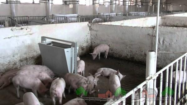 Кормление свинок на большой ферме