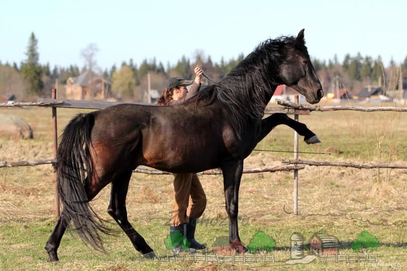 Обучение лошади испанскому шагу