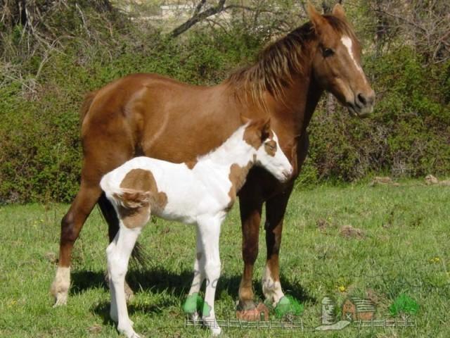 Обзор пегой масти лошадей, ее описание, фото и видео