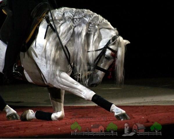 Андалузский конь делает поклон
