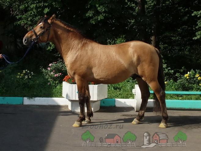 Обзор каурой масти лошадей: ее описание и фото