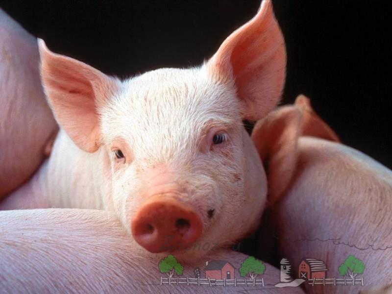 Подросший розовый свиненок
