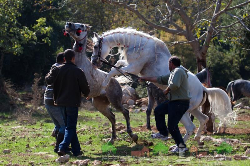 Ручная случка арабских лошадей