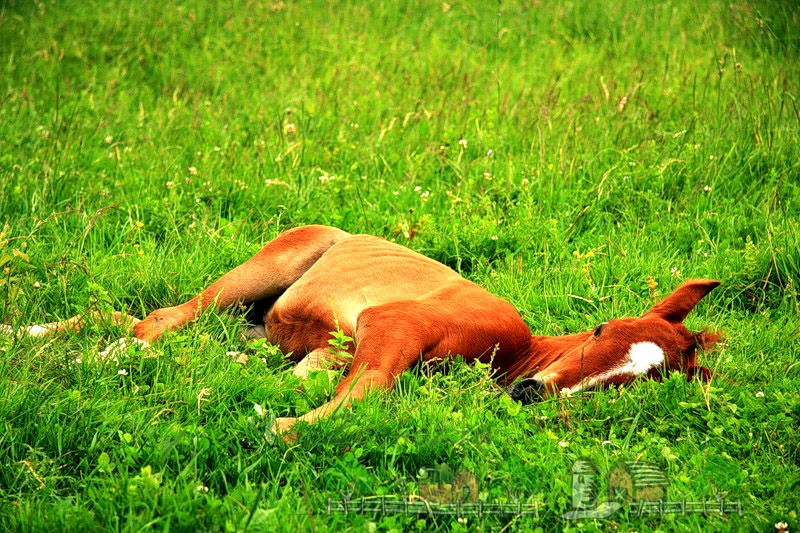 Рыжий жеребенок спит на траве