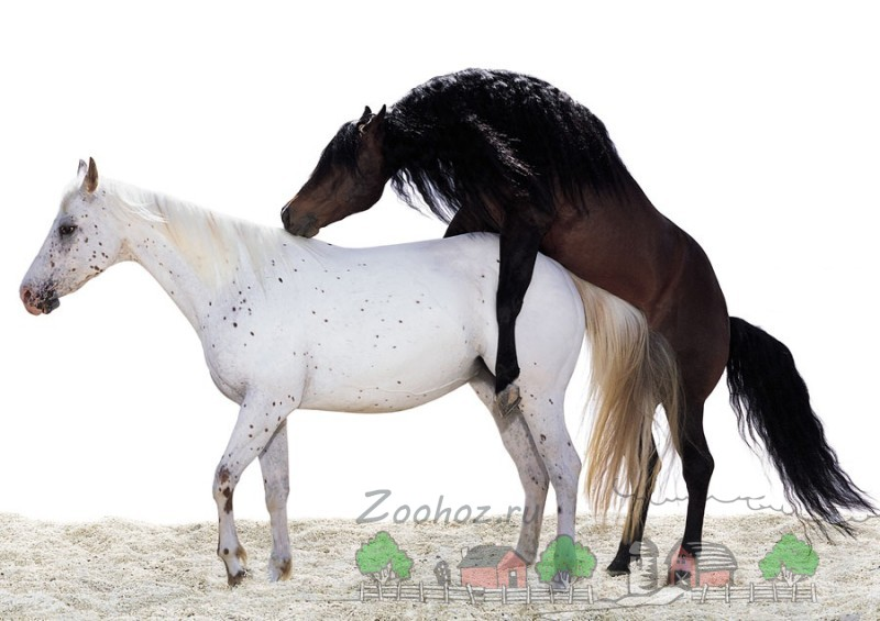 Процесс спаривания коней