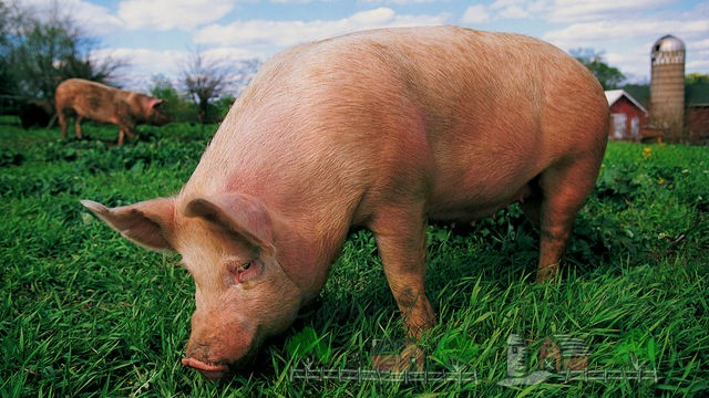 Взрослая свинья пасется на пастбище