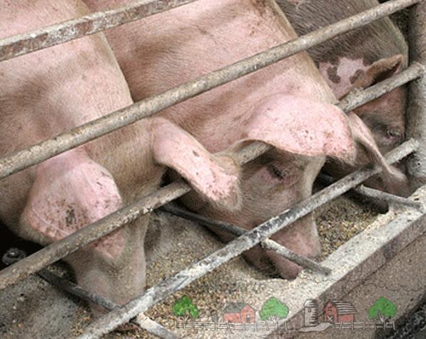 Свиньи кушают корм
