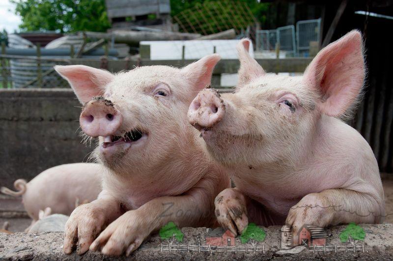 Свинарник на 50 голов своими руками: фото и видео обзор