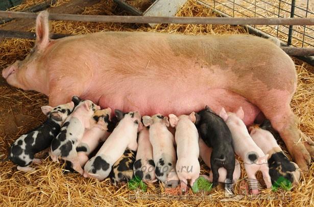 Чем и как выкормить поросят без свиноматки: искусственное вскармливание заменителем или сухим молоком