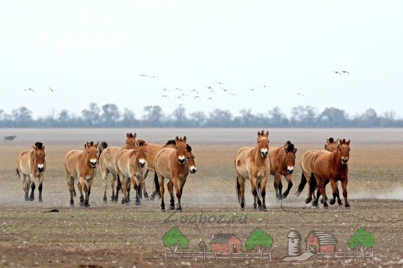 Табун коней бегущих в степи