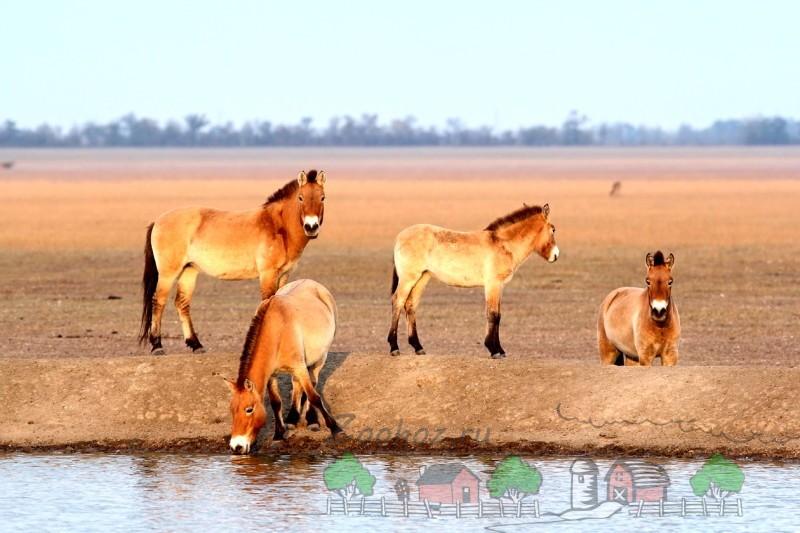 Лошади Пржевальского на водопое