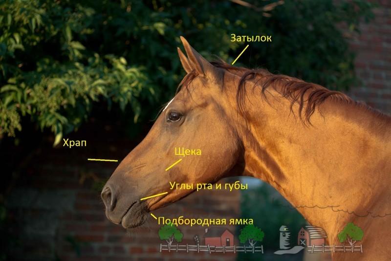 Схема воздействия на лошадь уздечки