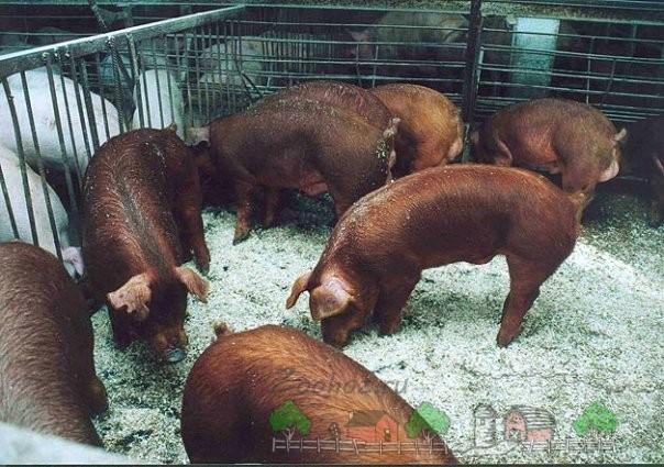 Красные свинки в загоне