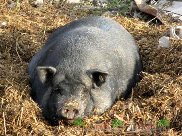 Опорос вьетнамских свиней в домашних условиях и как определить беременность: описание с видео