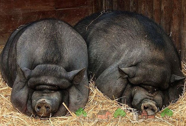 Разведение, уход и питание вьетнамских свиней и поросят в домашних условиях