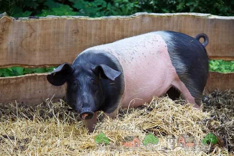 Черно-белая взрослая свинья