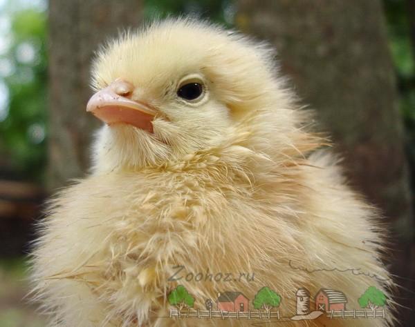 Здоровый суточный цыпленок
