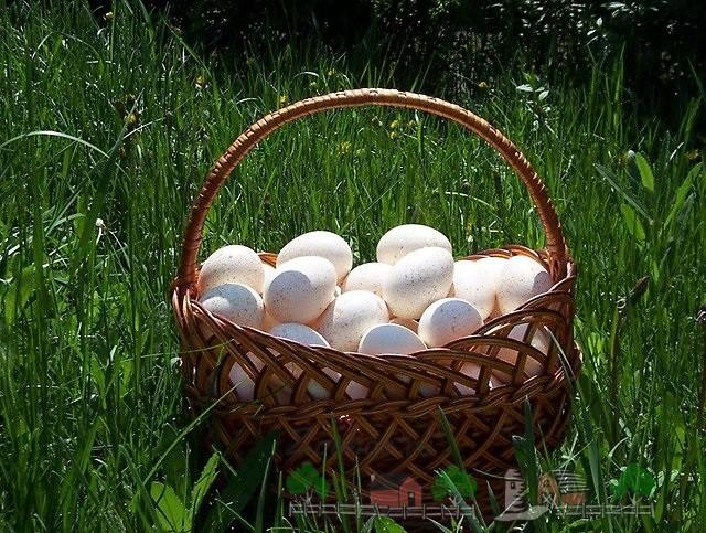 Корзина с индюшиными яйцами