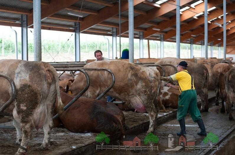 Зоотехник проводит осеменение телки