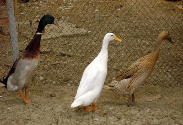 """Птица цвета """"форель"""", пятнистая и белая"""