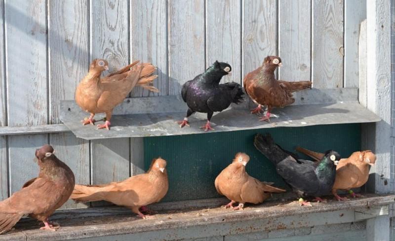 Разноцветные Тульские голубки