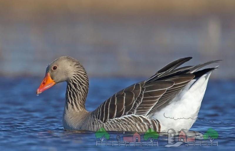 Обзор серого крупного гуся: его описание, фото и видео