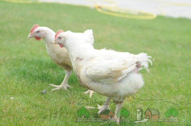 Выясняем причину гибели цыплят бройлеров