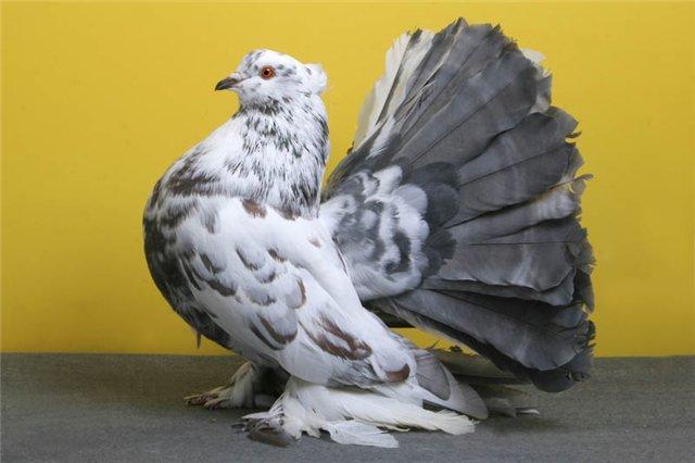 Голуби-павлины: обзор породы, ее фото и видео