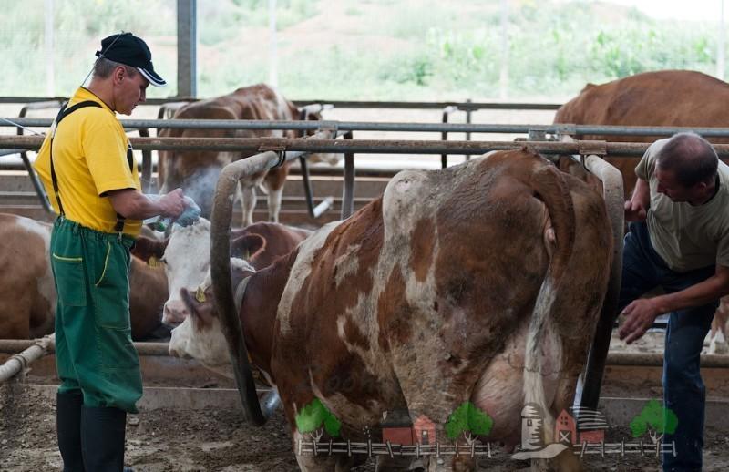 Корова перед оплодотворением