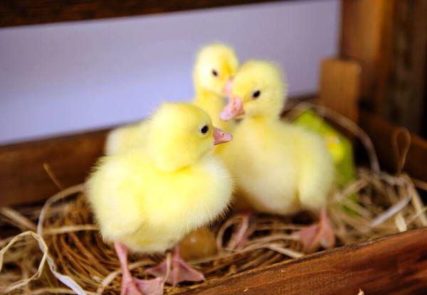 Двухнедельные гусята Линда