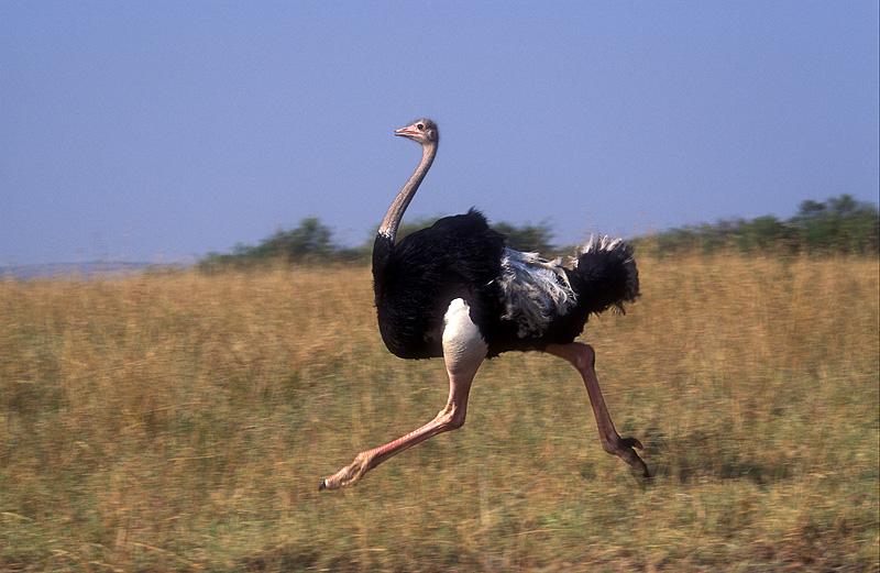 Бегущий самец страуса