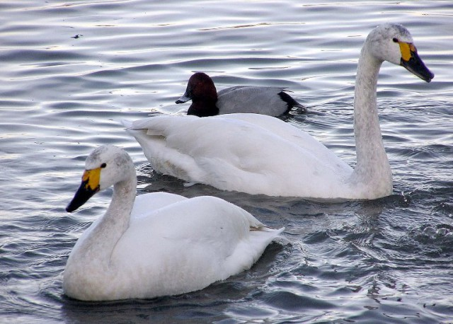 Две птицы плывут по воде