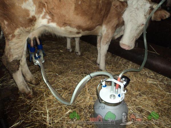 Автоматическое доение коровы